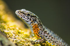 Портрет ящерицы (vivipara Zootoca) Стоковые Изображения