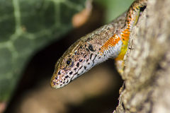 Портрет ящерицы (vivipara Zootoca) Стоковая Фотография