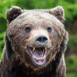 Портрет arctos Ursus бурого медведя в лесе Стоковое Изображение