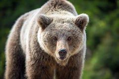 Портрет arctos Ursus бурого медведя в лесе Стоковое фото RF