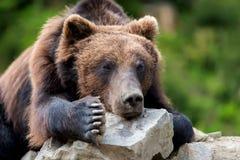 Портрет arctos Ursus бурого медведя в лесе Стоковая Фотография