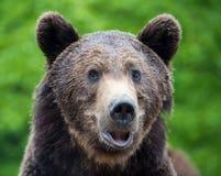 Портрет arctos Ursus бурого медведя в лесе Стоковые Фотографии RF