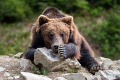 Портрет arctos Ursus бурого медведя в лесе Стоковое Изображение RF