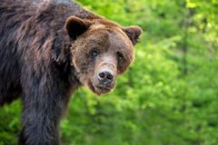 Портрет arctos Ursus бурого медведя в лесе Стоковая Фотография RF