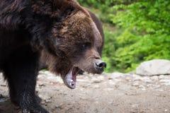 Портрет arctos Ursus бурого медведя в лесе Стоковые Изображения