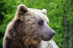 Портрет arctos Ursus бурого медведя в лесе Стоковое Фото