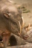 портрет babirusa стоковое фото rf