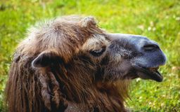 Портрет Bactrian верблюда Стоковые Фото