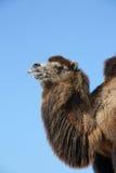 портрет bactrian верблюда Стоковое фото RF