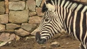 Портрет burchellii квагги Equus зебры ` s Burchell акции видеоматериалы