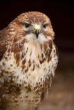портрет buzzard Стоковое Изображение
