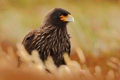 Портрет caracara Strieted хищных птиц, Phalcoboenus australis Caracara сидя в траве в Фолклендских островах, Аргентине Стоковое Изображение