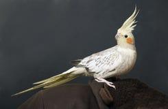 портрет cockatiel стоковые фотографии rf