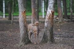 Портрет dappled оленя стоя между деревьями в лесе Стоковая Фотография