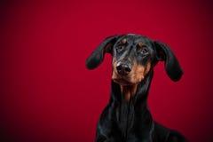 Портрет Dobermann Стоковое Изображение