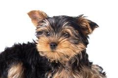 Портрет dog& x27; йоркширский терьер рыльца s Стоковое Фото