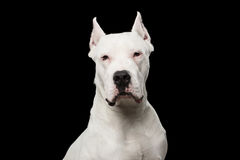 Портрет Dogo Argentino Стоковое Изображение