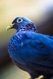 Портрет Dove птицы серый запятнанный стоковое изображение