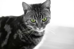 Портрет Duotone кота tabby с только глазами в цвете стоковые фотографии rf