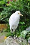 Портрет Egret скотин стоковая фотография