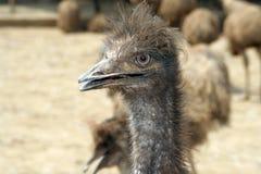 портрет emu Стоковая Фотография