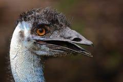 портрет emu Стоковая Фотография RF
