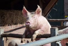 Портрет enthousiastic свиньи Стоковая Фотография RF