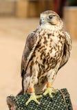 Портрет falcone saker стоковые изображения rf