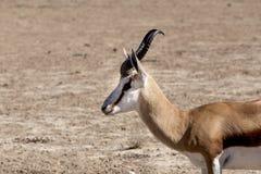 Портрет gazella прыгуна в kgalagadi, Южной Африке Стоковое Изображение RF