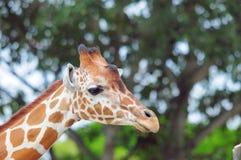 портрет giraffe сетчатый Стоковое фото RF