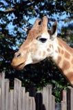 портрет giraffe Стоковое Изображение RF