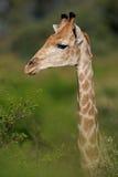 портрет giraffe Стоковое Фото