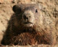 портрет groundhog Стоковое Изображение RF