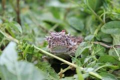 Портрет horned ящерицы Техаса стоковые изображения rf