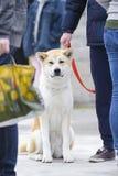 портрет inu собаки конца предпосылки akita вверх по белизне Стоковое Фото
