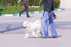 портрет inu собаки конца предпосылки akita вверх по белизне стоковое изображение