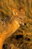 портрет jackal стоковые изображения rf