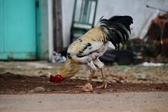 Портрет Javanese цыпленка Jago, который фуражирует стоковое фото rf