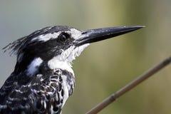 портрет kingfisher pied Стоковая Фотография RF