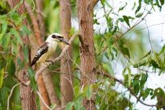 Портрет kookaburra, австралийской родной птицы Стоковое фото RF
