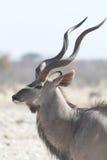 Портрет Kudu от стороны стоковые изображения rf