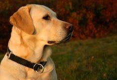портрет labrador осени стоковое изображение rf