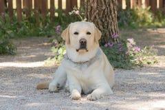 портрет labrador собаки Стоковая Фотография