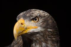 Портрет leucocephalus Haliaeetus белоголового орлана также известный как Ame Стоковое Фото
