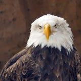 Портрет leucocephalus Haliaeetus белоголового орлана Стоковое Изображение