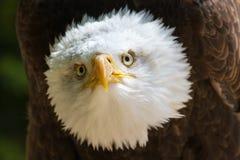 Портрет leucocephalus Haliaeetus белоголового орлана также известный как Ame Стоковые Фотографии RF