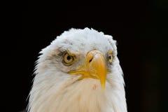 Портрет leucocephalus Haliaeetus белоголового орлана также известный как Ame Стоковая Фотография