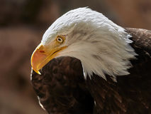 Портрет leucocephalus Haliaeetus белоголового орлана Стоковая Фотография RF