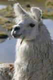 портрет llama Стоковая Фотография