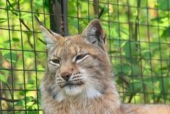 портрет lynx Стоковое Изображение RF